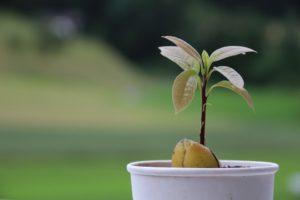 avocado kweken