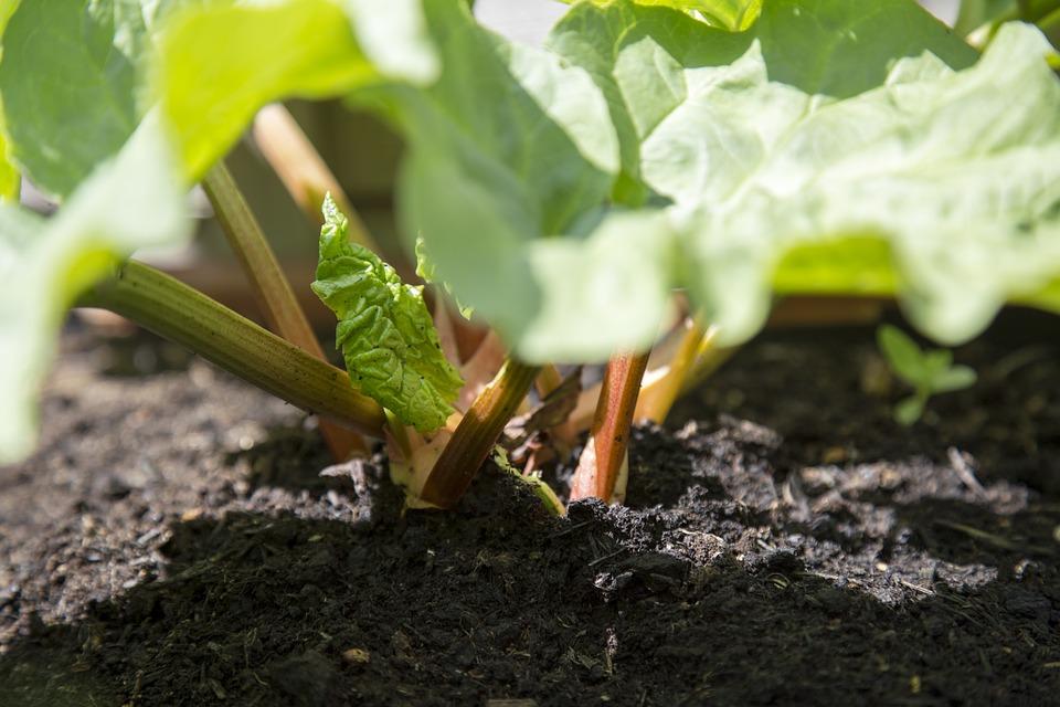 Aardbeien Planten Kopen Intratuin.Rabarber Kweken Alles Over Het Telen Van Rabarber