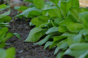 spinazie kweken