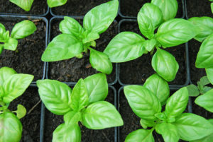 Basilicum plantjes