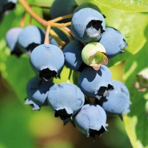 Blauwe bessen kweken