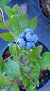Blauwe bessen plant