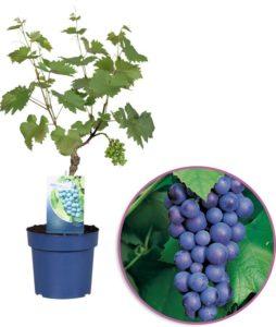 Druivenplant kweken