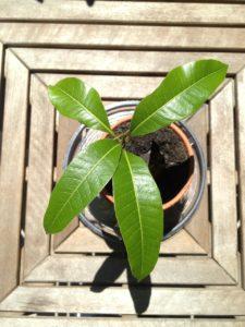 Mangoplantje