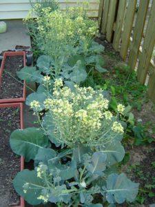 broccoli bloemen