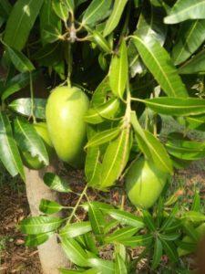 mango kweken