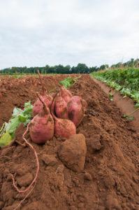 zoete aardappel oogsten